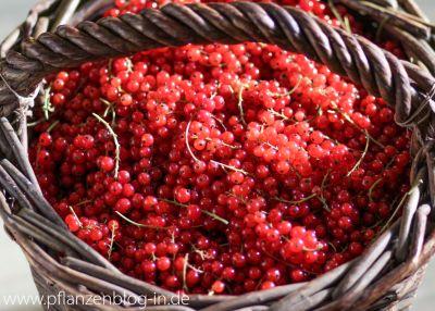 9 kg rote Johannisbeeren