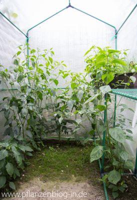Chilis im Gewächshaus