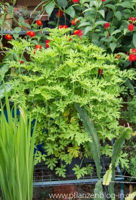 Zitronengeranie (Pelargonium graveolens)