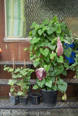 Aristolochia fimbriata & grandiflora