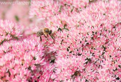 Biene an Fetter Henne