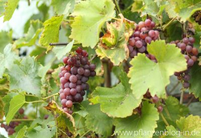 Weintrauben in Sachsen