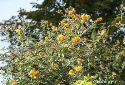 Gelber Schmetterlingsflieder