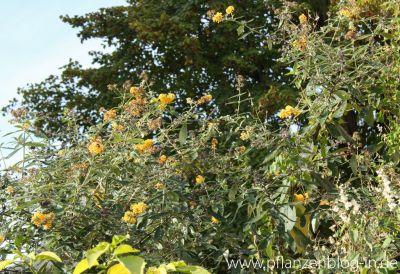 Schmetterlingsflieder im November