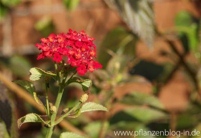 Letzte Blüten Wandelröschen
