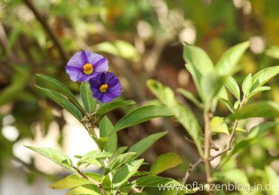 Letzte Blüten am Enzianstrauch