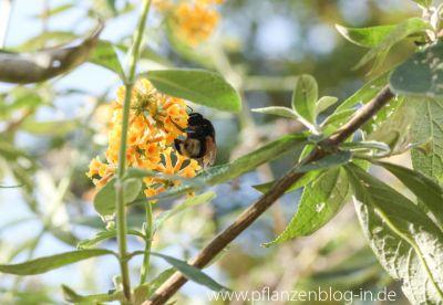 Hummel am Schmetterlingsflieder