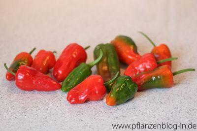 Chilis reifen nach