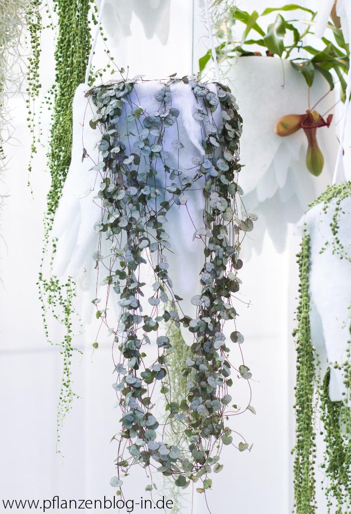 ceropegia woodii messe frankfurt majas pflanzenblog. Black Bedroom Furniture Sets. Home Design Ideas