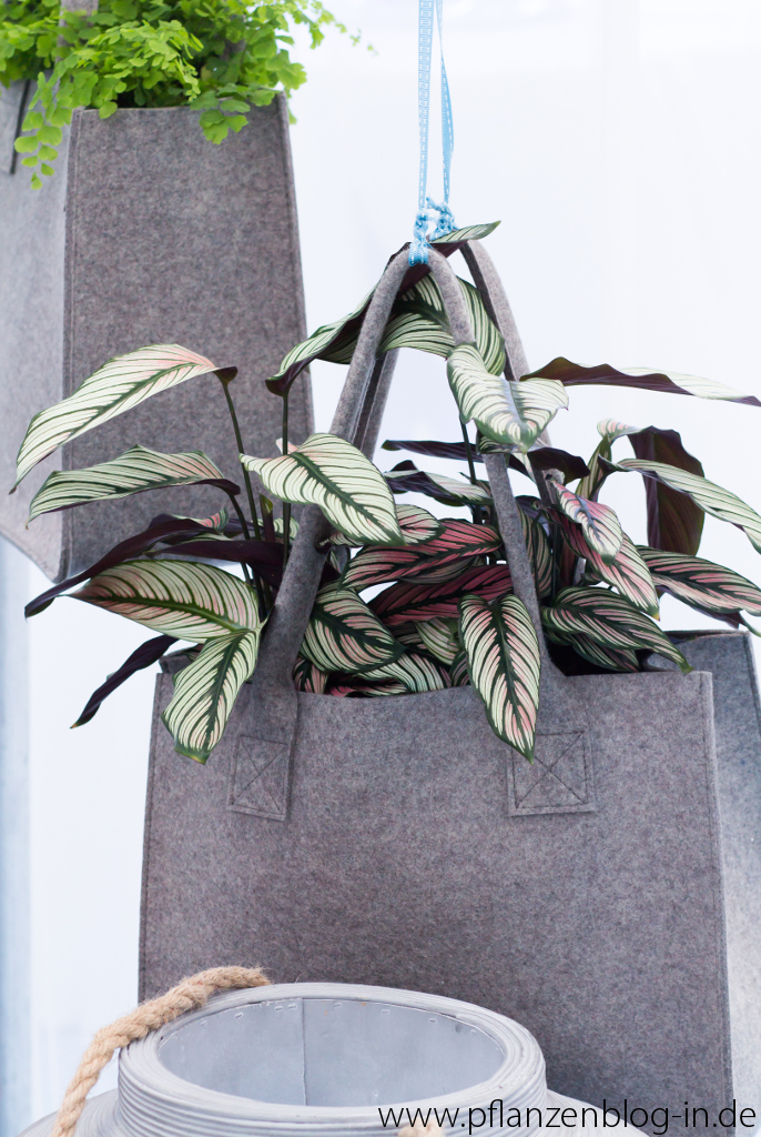 calathea messe frankfurt majas pflanzenblog. Black Bedroom Furniture Sets. Home Design Ideas