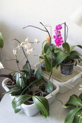 Orchideen mit Regenwasser tauchen
