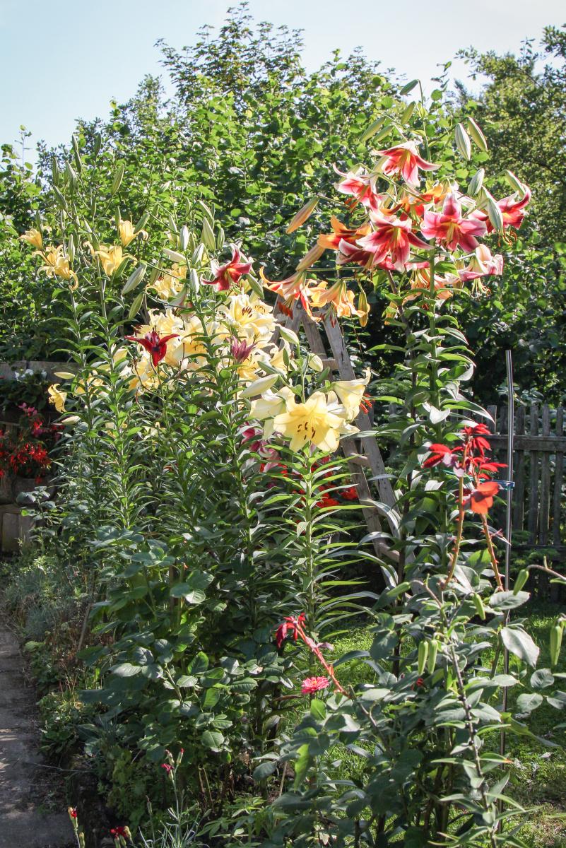 2,40 m hohe kletter-baumlilien (lilium) im garten » majas pflanzenblog