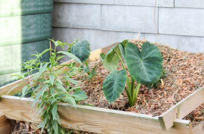 Colocasia Jack's Giant
