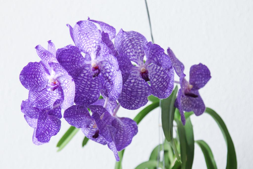 vanda orchideen g rtnerei in holland majas pflanzenblog. Black Bedroom Furniture Sets. Home Design Ideas