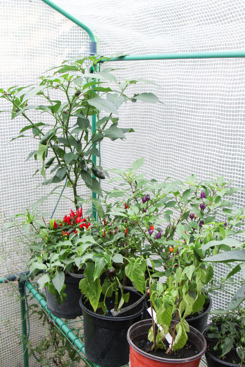 Erste chili fr chte sind erntereif majas pflanzenblog for Chillies pflanzen