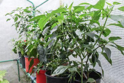 Chili-Pflanzen im Gewächshaus