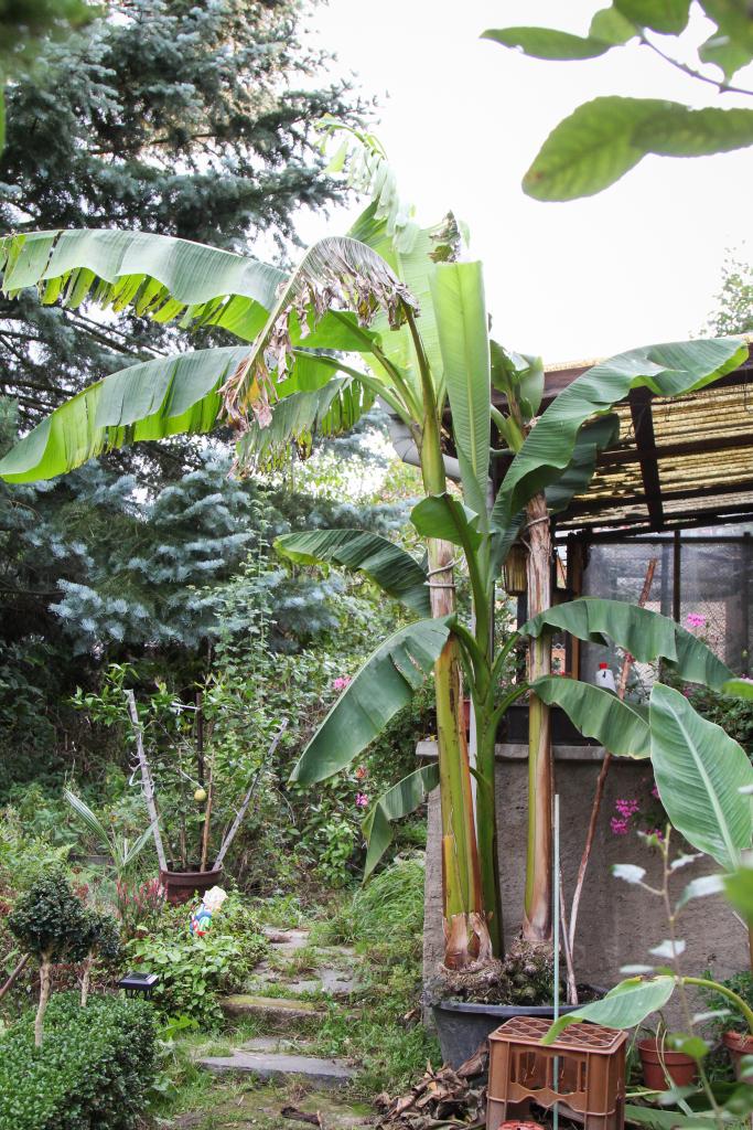 riesen bananen pflanze mit bl tenstand im garten majas. Black Bedroom Furniture Sets. Home Design Ideas