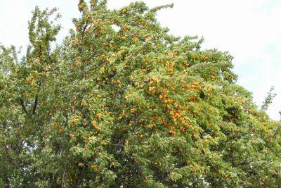 Üppiger Mirabellen-Baum