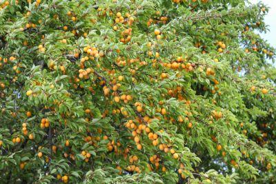 Viele Mirabellen-Früchte
