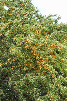 Mirabellen-Baum
