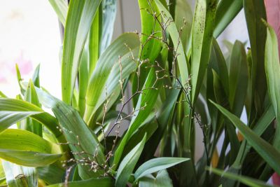 Oncidium ornithorhynchum