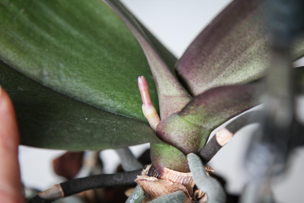 knospenboom bei meinen orchideen majas pflanzenblog. Black Bedroom Furniture Sets. Home Design Ideas