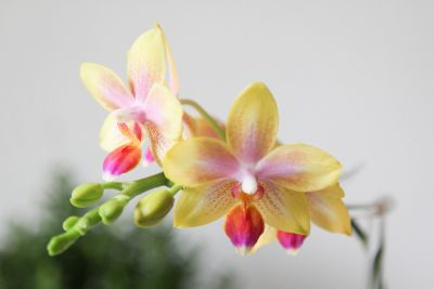 Knospenpower Phalaenopsis