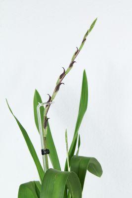 Colmanara Massai Blütentriebe