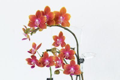 Phalaenopsis Tying Shin Cupid