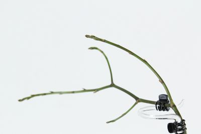 Phal. stuartiana Blütentrieb