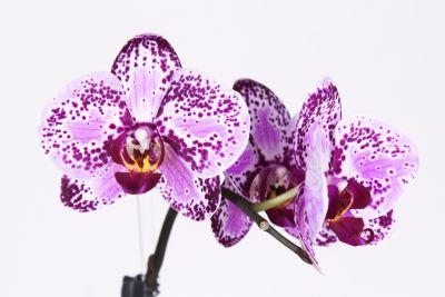 Phalaenopsis Taiwan Hybride