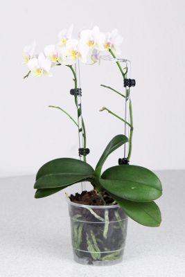 Phalaenopsis White Lady