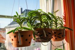Vanda Orchideen in der Sonne