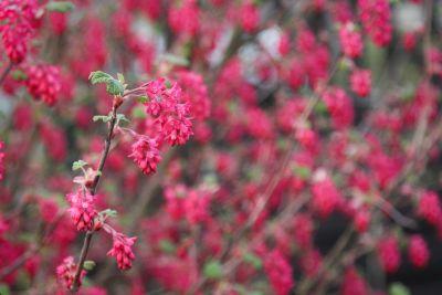 Blut-Johannisbeere (Ribes sanguineum)