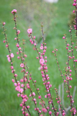 Mandelbaum (Prunus triloba)