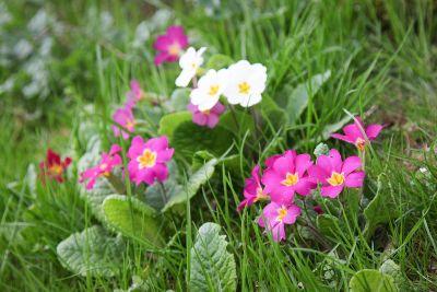 Primel (Primula vulgaris)
