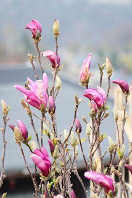 Purpur-Magnolie (Magnolia liliiflora)