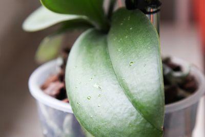 Tropfen auf Orchideen Blätter