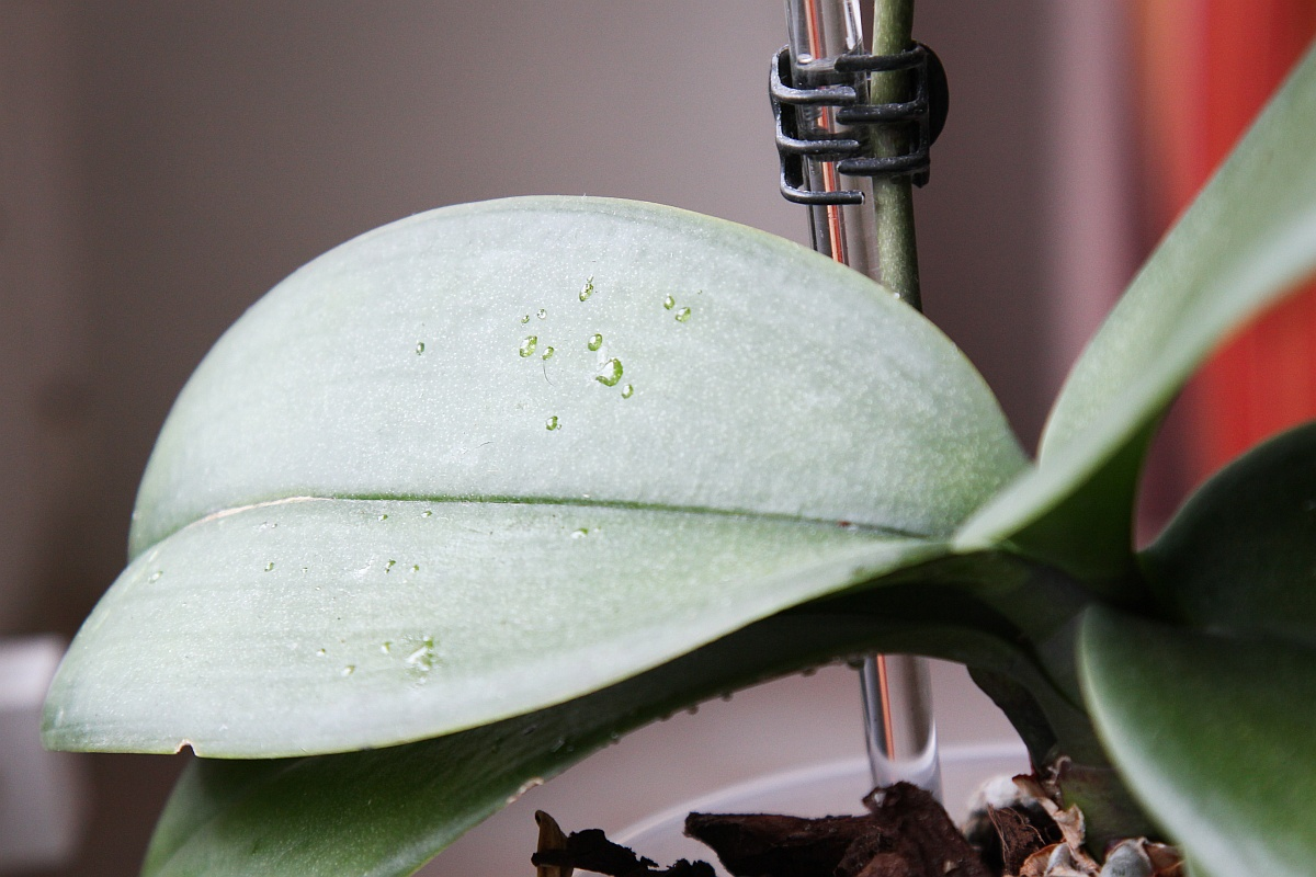 Klebrige Tropfen An Phalaenopsis Orchidee Majas Pflanzenblog
