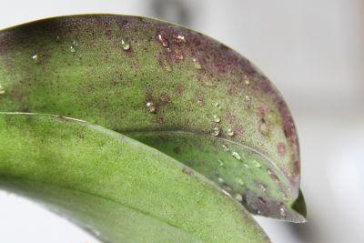 Tropfen auf Orchideenblätter