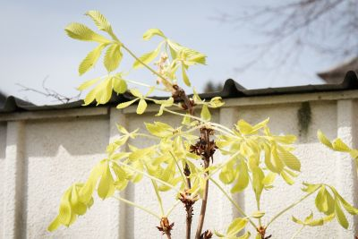 Junger Blütentrieb an Roßkastanie