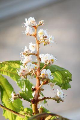Roßkastanie mit Blüten