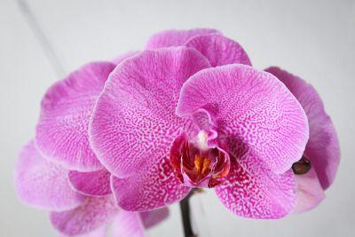 Deformierte Phalaenopsis-Blüte
