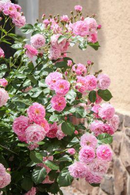 Rosafarbene Duftrose