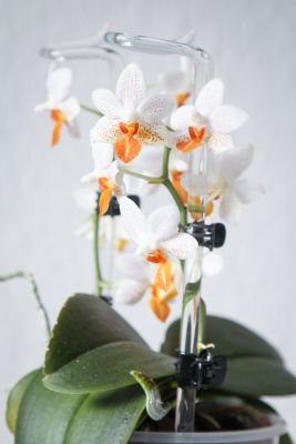 coelogyne massangeana phalaenopsis in bl te majas. Black Bedroom Furniture Sets. Home Design Ideas