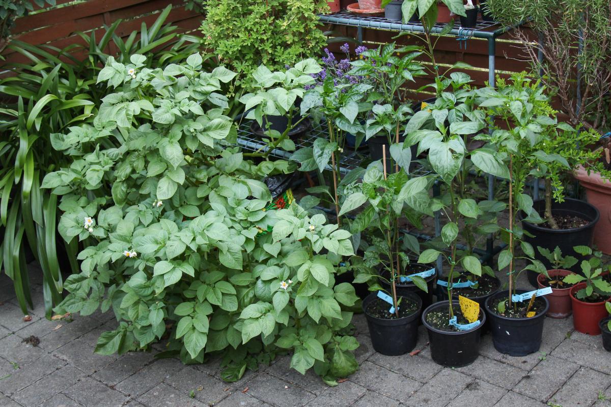 meine gem sepflanzen im kleinen garten am haus majas. Black Bedroom Furniture Sets. Home Design Ideas