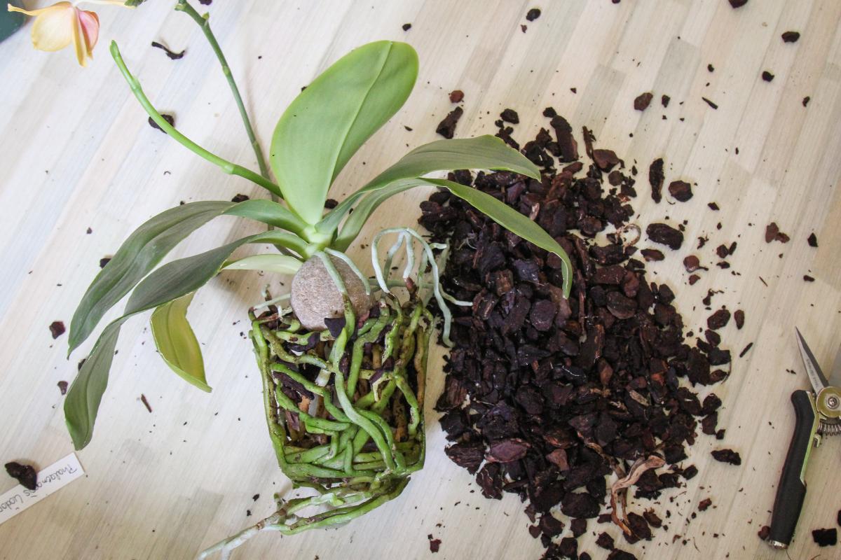 phalaenopsis umtopfen t pfe substrat anleitung majas pflanzenblog. Black Bedroom Furniture Sets. Home Design Ideas