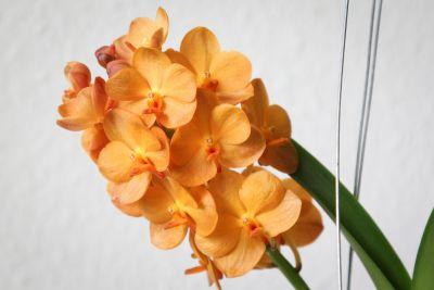 Blüten Vanda Sunlight Asia