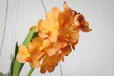 Vanda Sunlight Asia