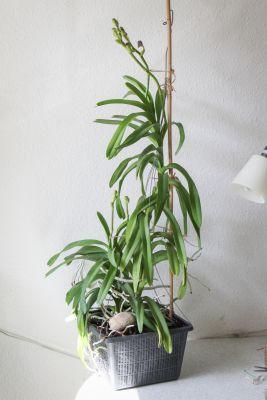 Vanda Sansai Blue mit 4 Blütentrieben